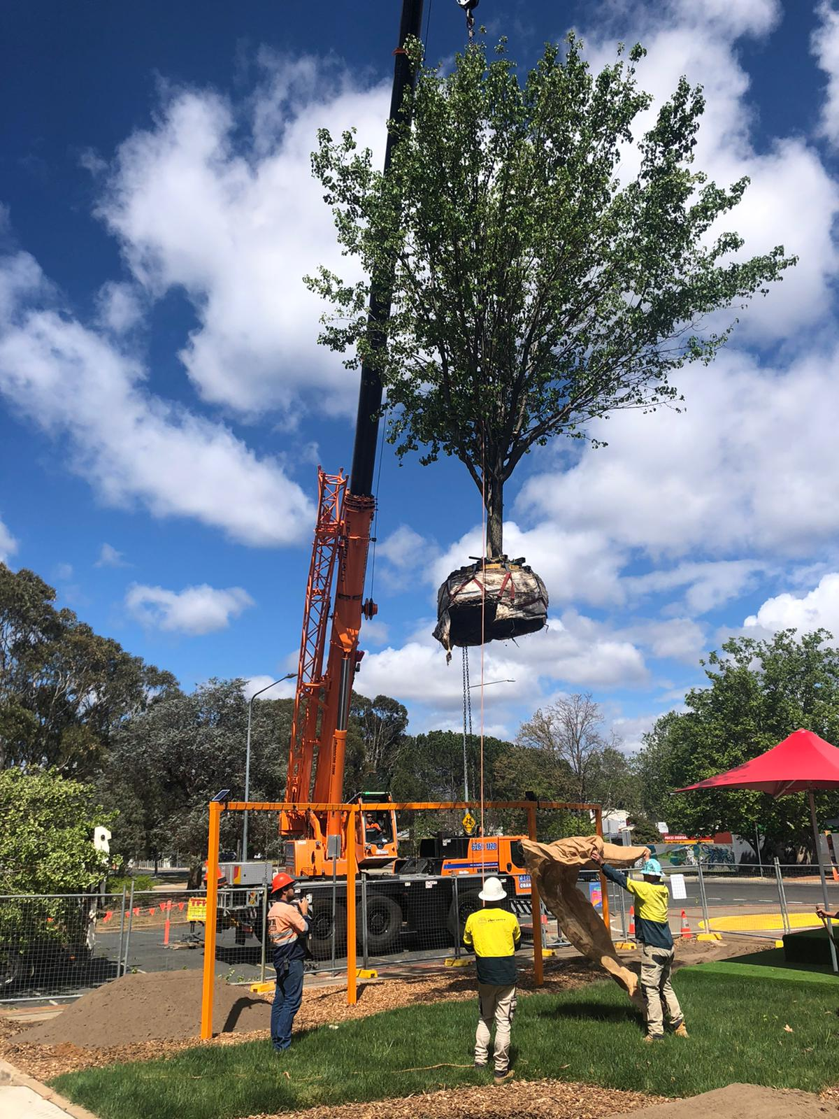 craning trees into place