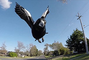 A magpie about to swoop.