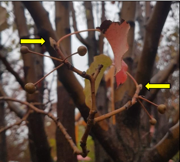 new buds forming on a pyrus tree