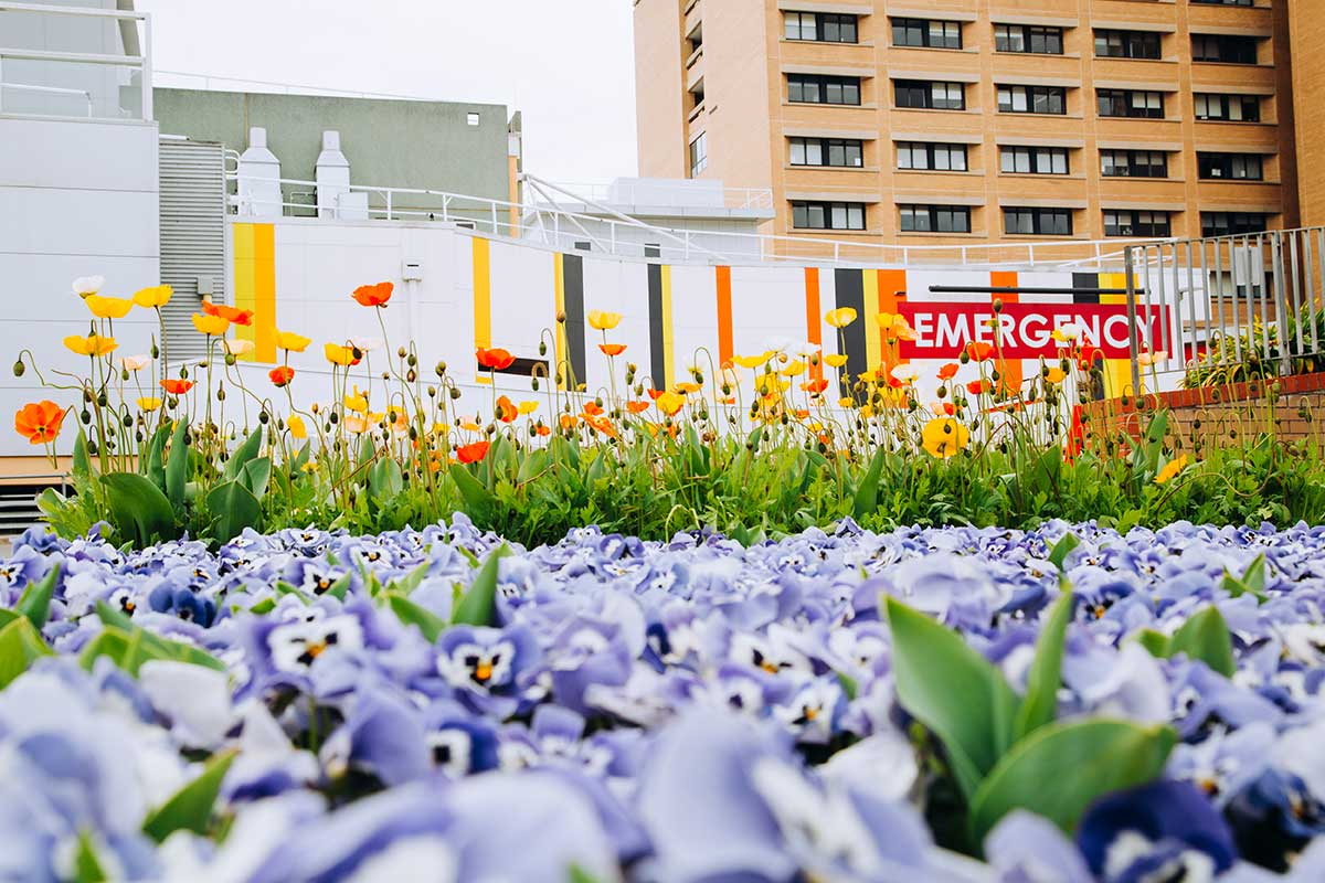 Purple pansies start to bloom in front of Canberra Hospital.
