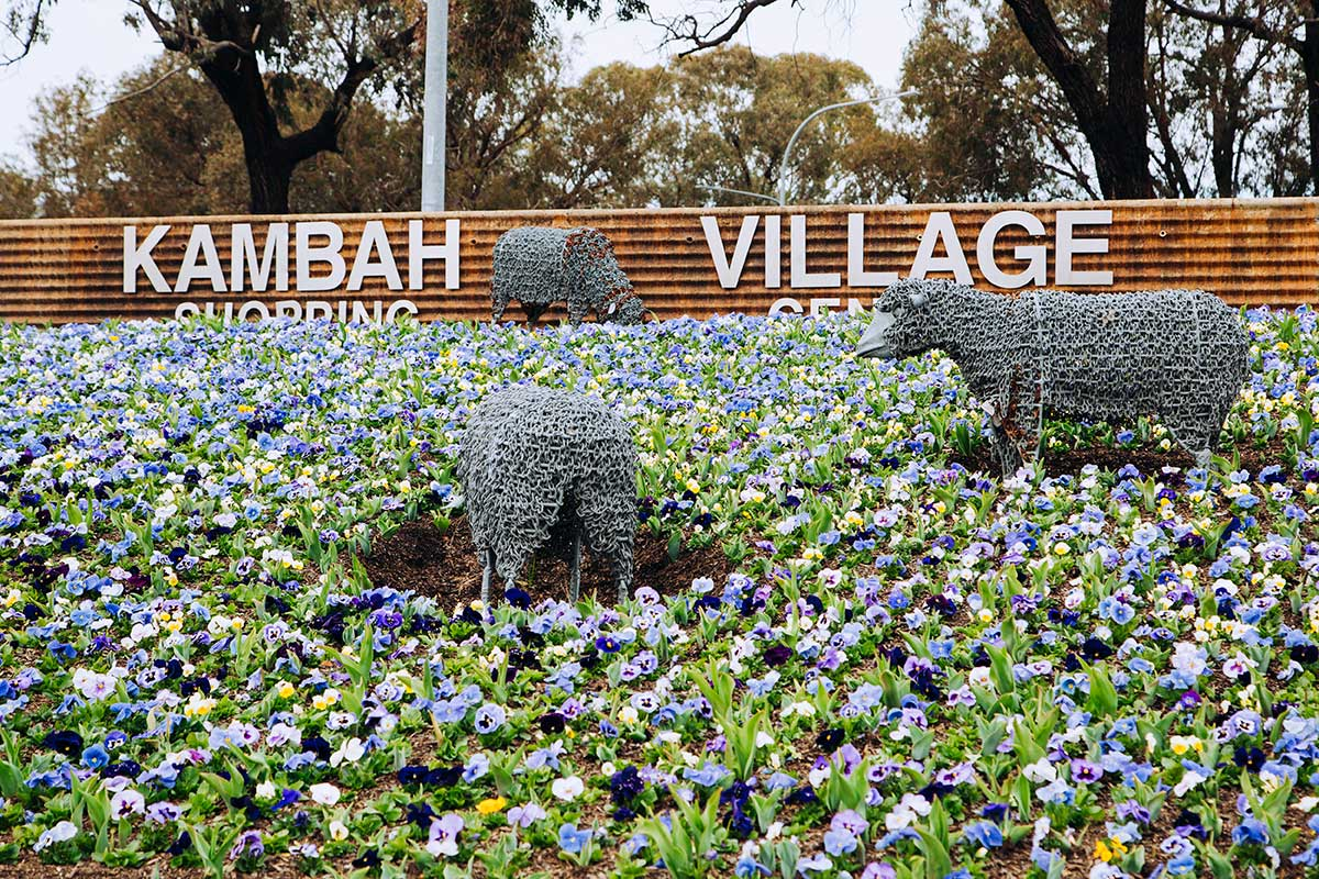 Statues of sheep in Kambah village surrounded by pansies.