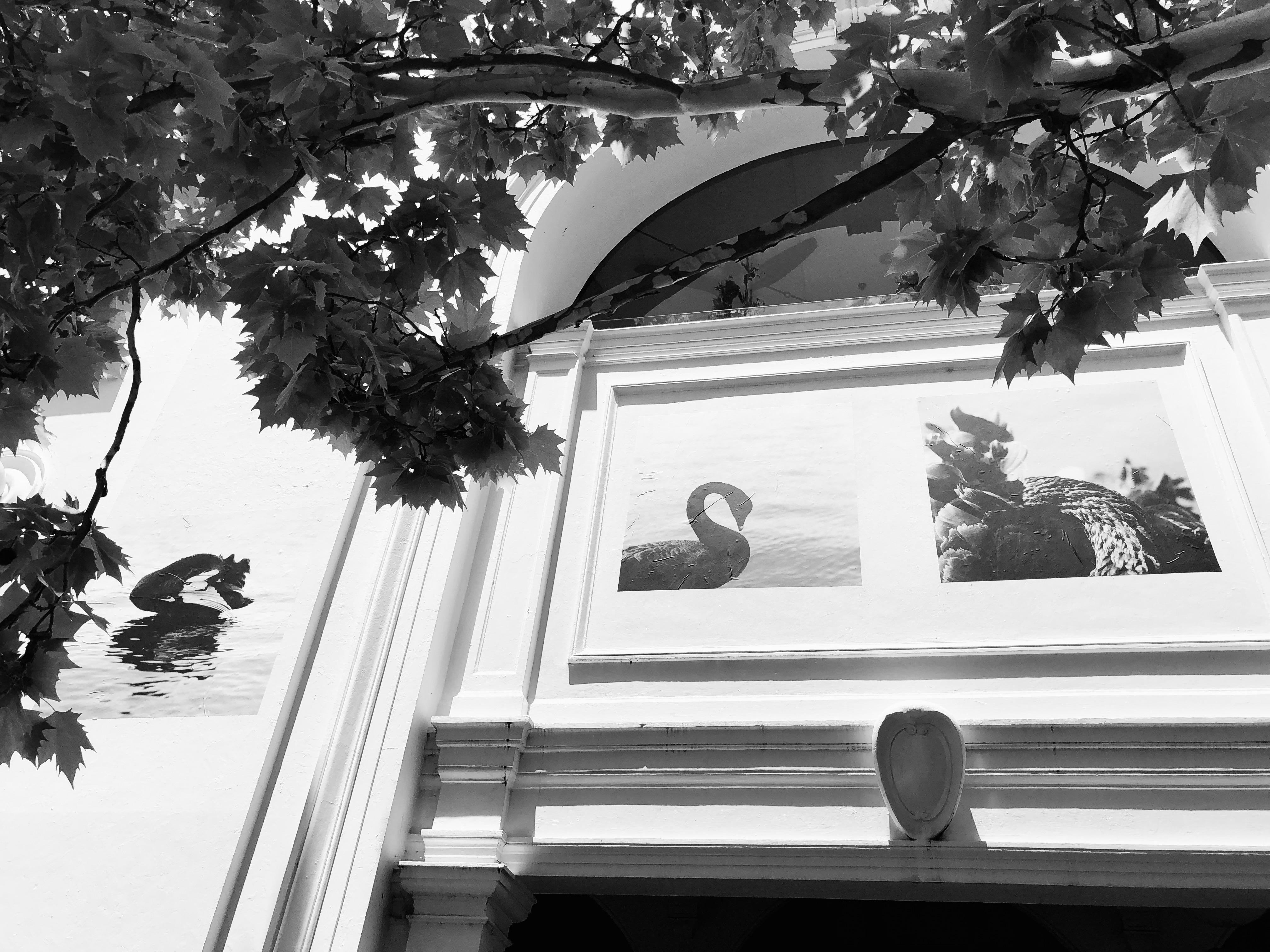 cygnus atratus photographic exhibition, melbourne building