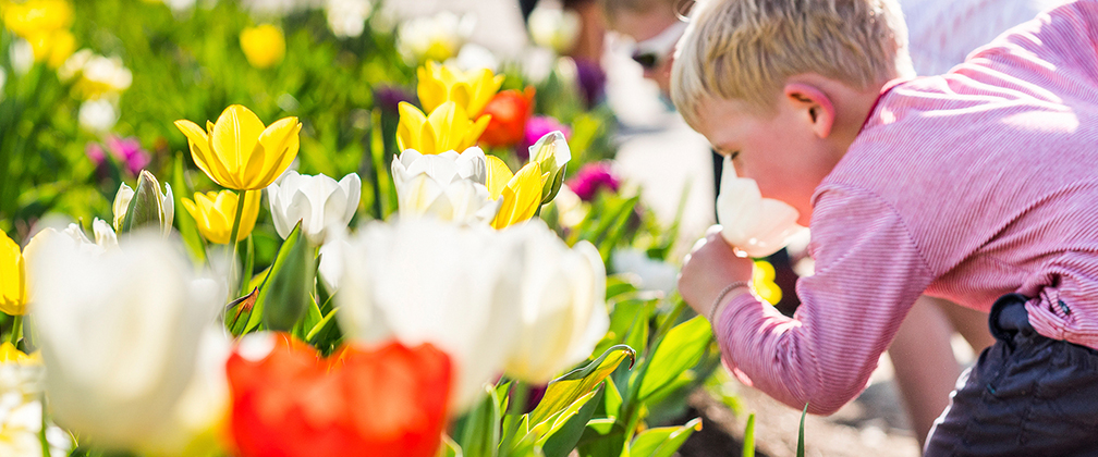 A boy sniffing tulips at Floriade in Canberra