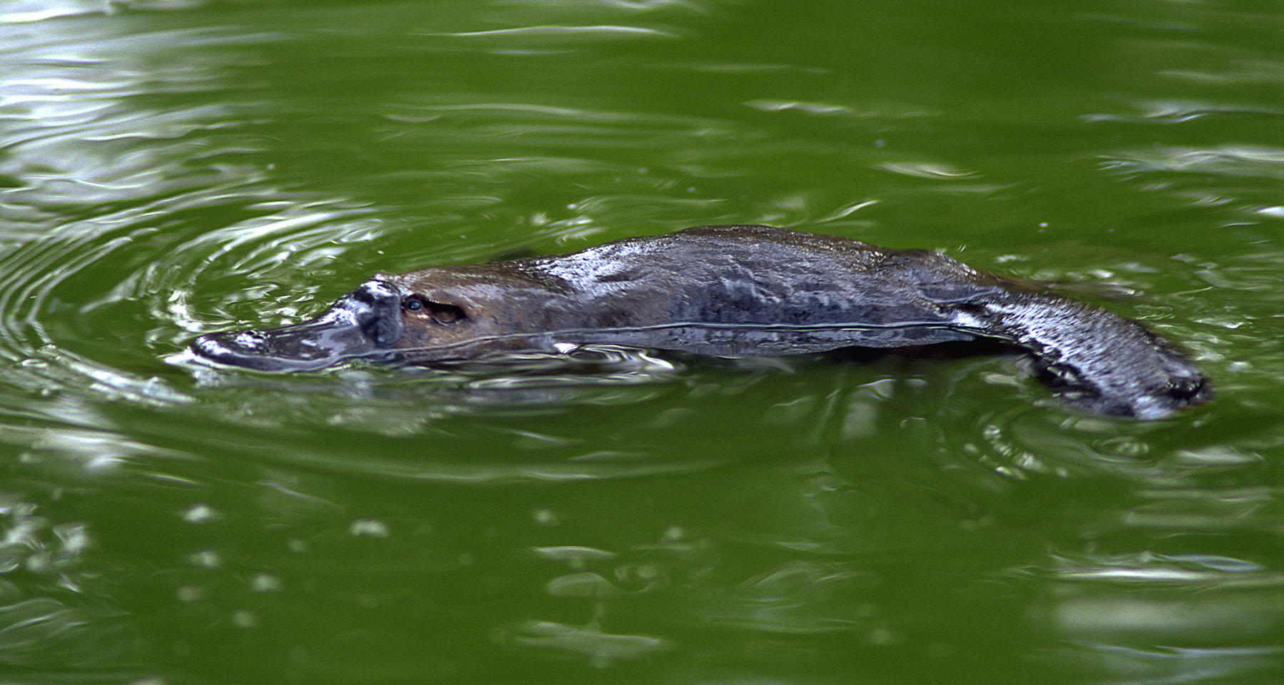 The cutest month of the year is here! It's Platypus Month.