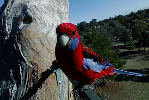 A Rosella bird on a tree.